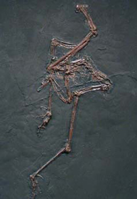 Bird Fossil from the Eocene Era.jpg