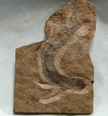 File:Acanthodian Fossil Fish.jpg