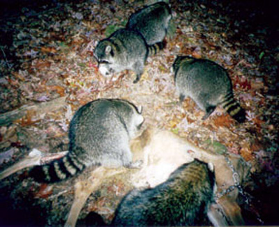 File:Raccoons feed on a dead deer.jpg