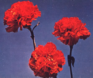 File:Red Carnation.jpg