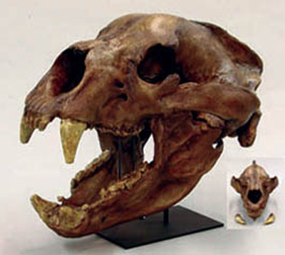 File:Short-Faced Bear Skull.jpg