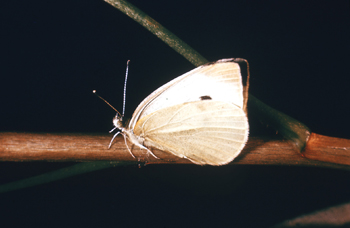 File:Cabbage White Butterfly.jpg