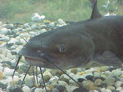 Channel catfish with barbels.jpg