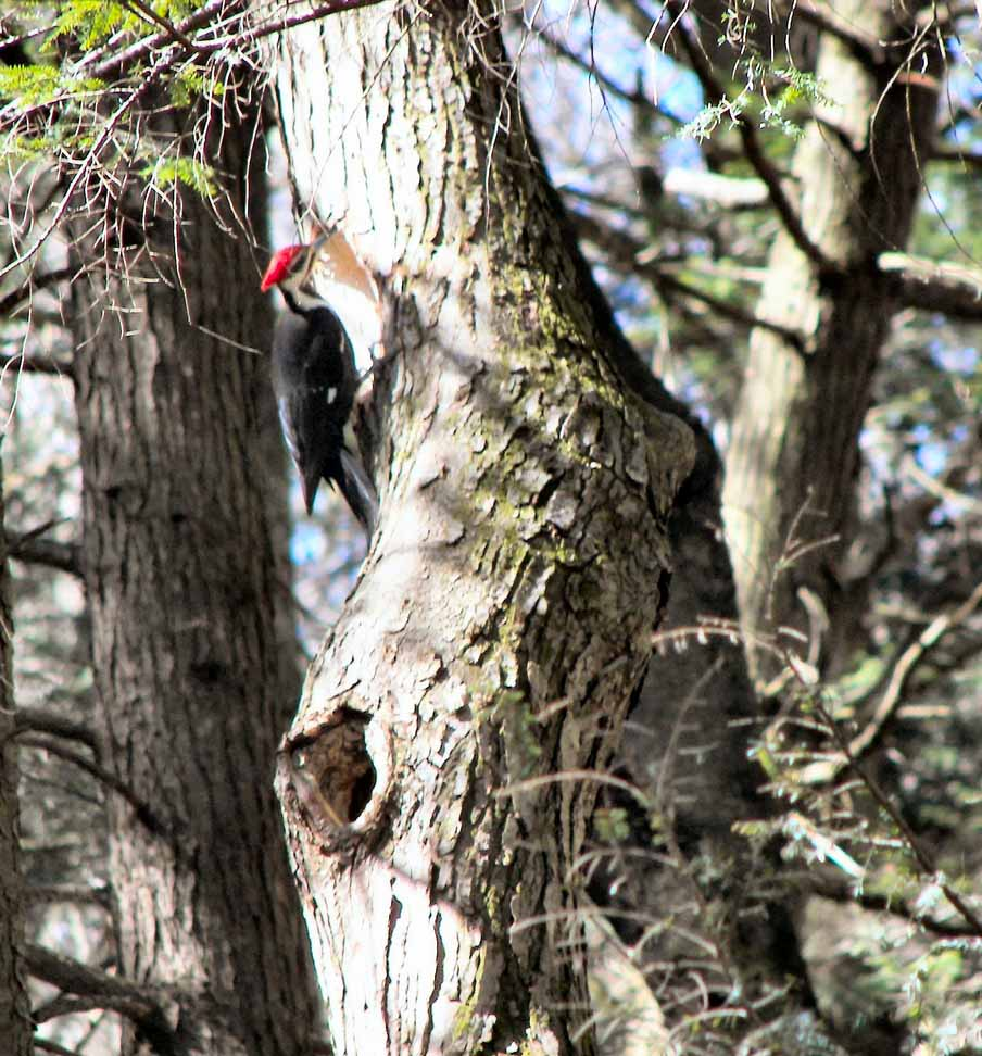 Pileated Woodpecker.jpg