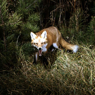 File:Red Fox (Al Staffan).jpg