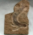Acanthodian Fossil Fish.jpg