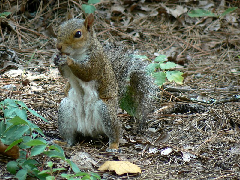 File:Eastern Gray Squirrel.jpg