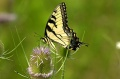 Tiger Swallowtail Butterfly.jpg