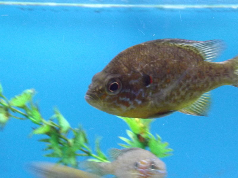 File:Pumpkinseed Sunfish.jpg