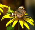 Common Buckeye Butterfly (1).jpg