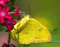 Clouded Sulfur Butterfly.jpg