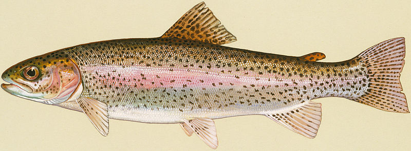 File:Rainbow Trout.jpg