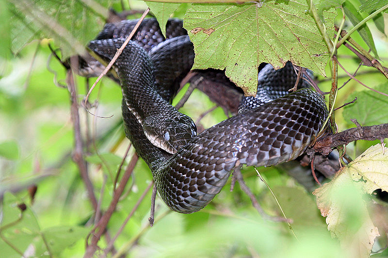 File:Black Rat Snake.jpg