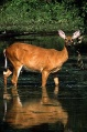 White-tailed Deer, doe standing in water.jpg